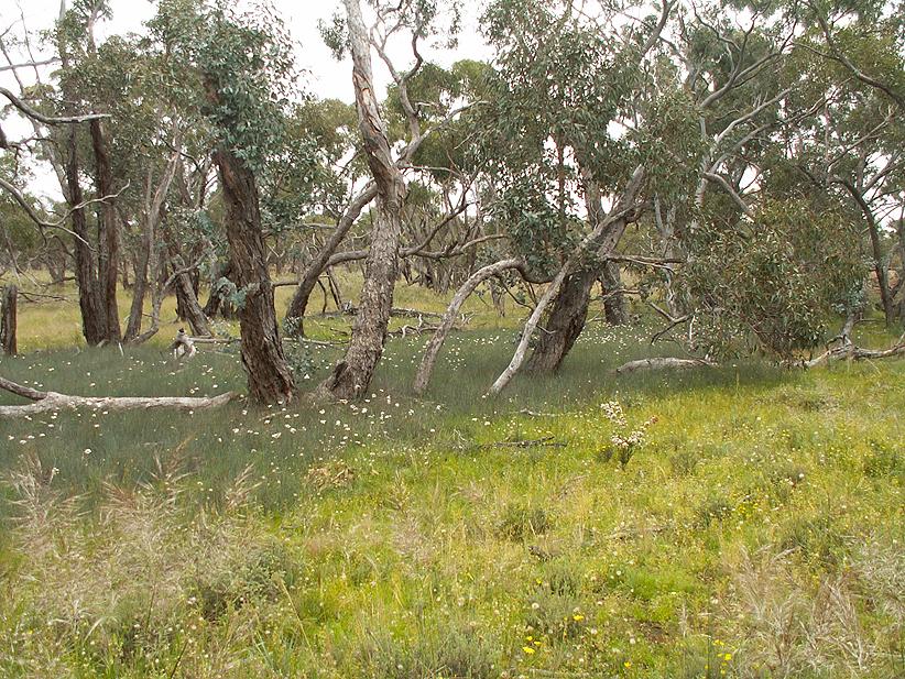 Swamp- Emu-Dalyenong area, with Milkmaids- Burchardia umbellata ,12.11.10 , A Hughes