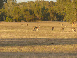 Marsupial Lawn- the farmers' complaint! Carapooee West just before May's rains 2016, A Hughes