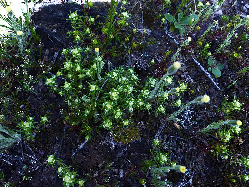 Tiny landscape-soft millotia- Millotia tenuifolia; Small Wrinklewort-Siloxerus multiflorus; Scented