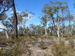 Heathy Dry Woodland-with Bulokes, Dalyenong NCR, April A Hughes