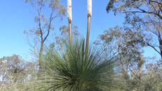 Grey Grass Tree - View Point