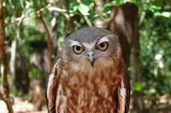 Barking  Owl with permission A Mc Cutche