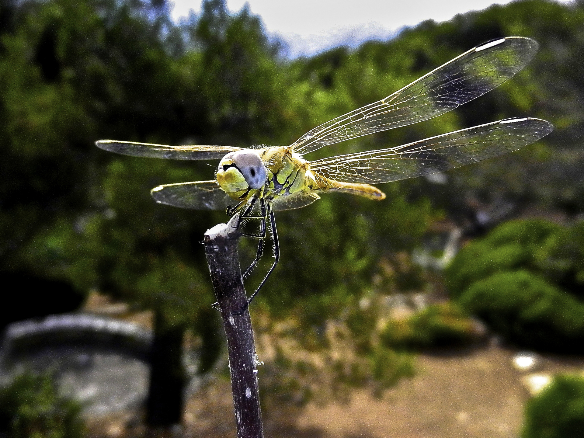 An Inch Of Dragonfly