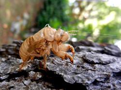 Once A Cicada