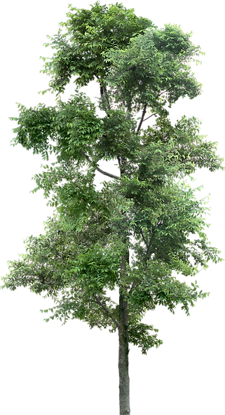 tree_PNG92699.png