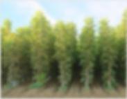 walnut-3.jpg