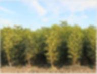walnut-2.jpg