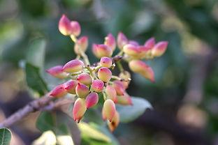 pistachio buds.jpg