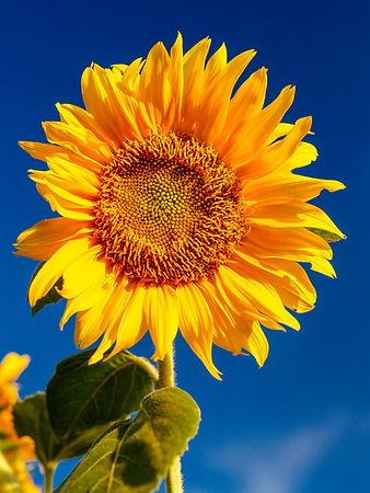 field-flower-yellow-sunflower-nature-agr