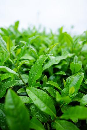 plant-tea-leaf-flower-food-green-1328131