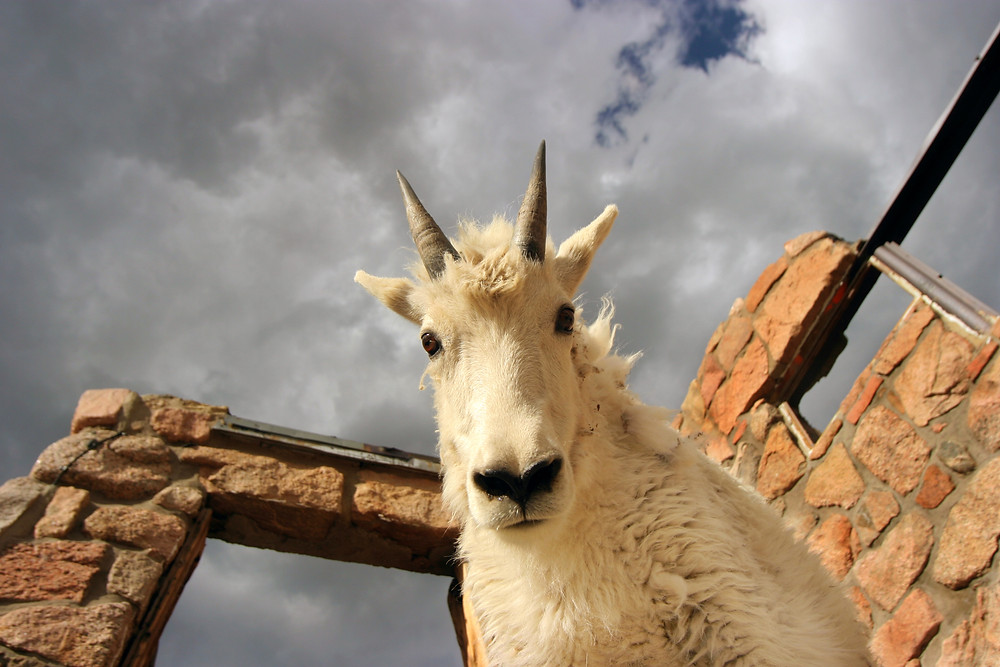 """Mountain goat says, """"Whatcha fall down for?"""""""