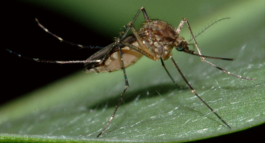 AEDES VEXAN