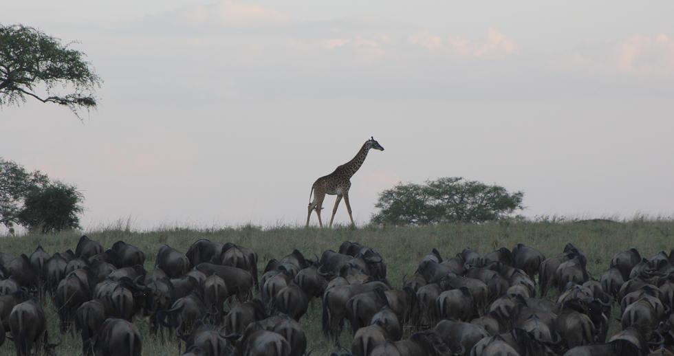 serengeti safari zanzibar (7).JPG