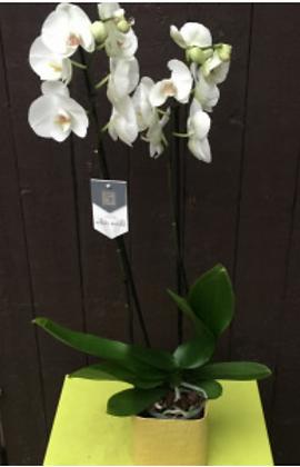Orchidee phalenopsis