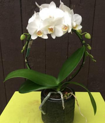 Orchideeboog klein
