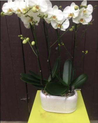 Plantenarrangement met 2 orchideeën