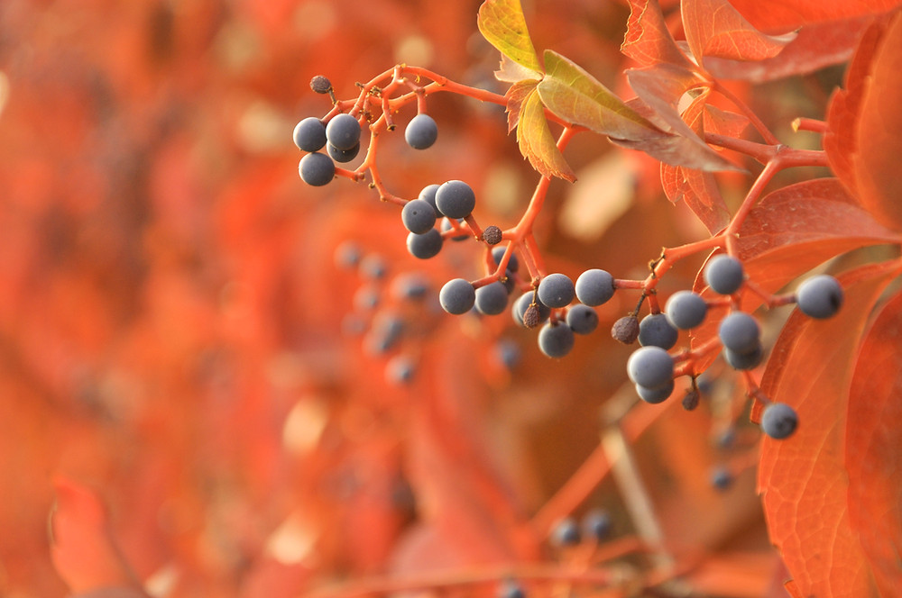 dark blue berries in an autumn foliage environment