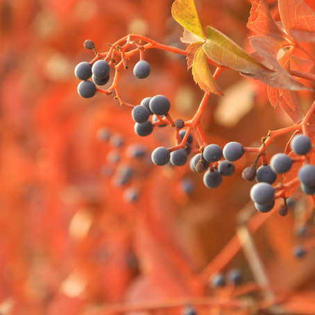 Berry Good For You -Elder Berries