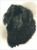 drawing of newfy