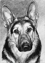 Charcoal drawing of german shepherdpard