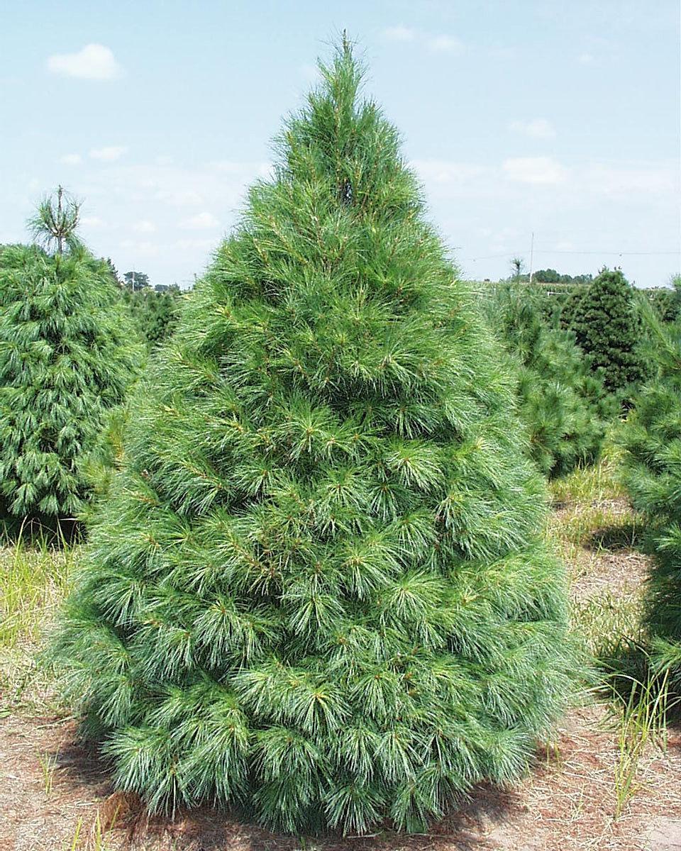 agafarms   Christmas Trees