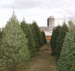 christmas trees silo
