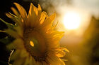sunflower-5370278_1920.jpg