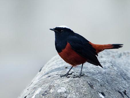 Birding in the Western Himalayas: Nov 2016
