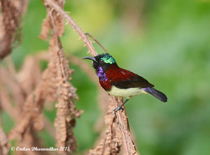Crimson-backed Sunbird.jpg