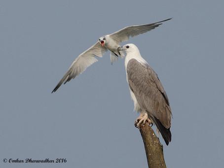 Birding in Goa: Nov 2016