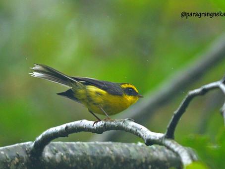 Manipur Birding: May 2016