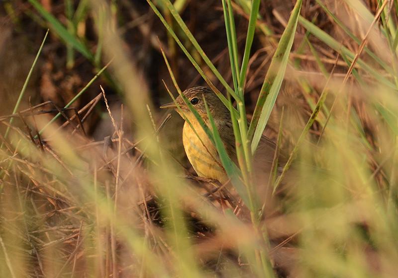 Common Grasshopper warbler
