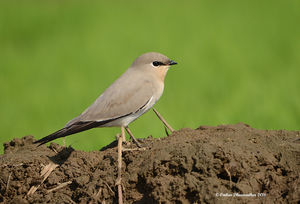 Small Pratincole_Santa Cruz_Nov 2016.jpg