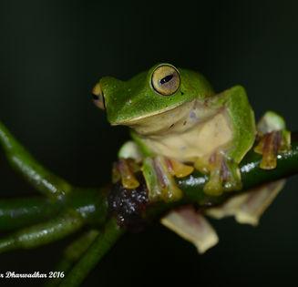 Malabar Gliding Frog.jpg