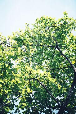 green leaf tree_edited.jpg