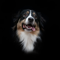Portrait de chien en studio
