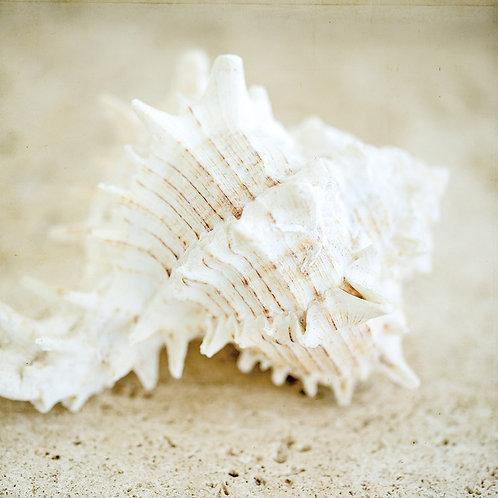 Seashore shells II