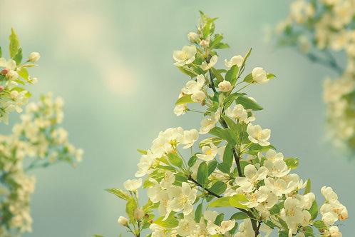 Spring Beauty II