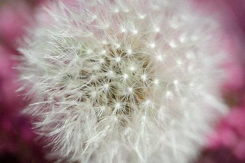 Dandelion on a rose