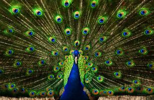 TOP 25 - Peacock