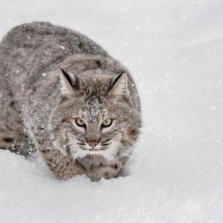 Bobcat On The Hunt, Ron Conigliaro