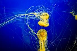 Jellyfish Tango