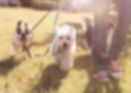 Photo de chiens qui marchent en laisse dans l'herbe