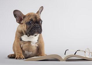 Photo d'un bouledogue assis devant un livre ouvert et des lunettes