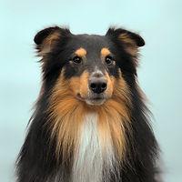Photo portrait de Moka, chien de berger des Shetlands