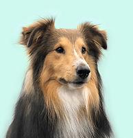 Photo portrait de Nestea, chien de berger des Shetlands
