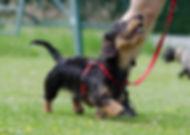 Photo d'un chien qui marche en laisse au pied et qui regarde son maître