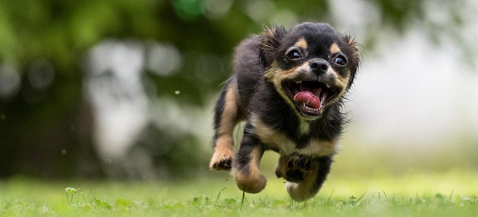 Photo d'un chien heureux qui court dans l'herbe