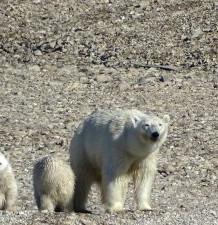 Isbjørn med unger.jpg