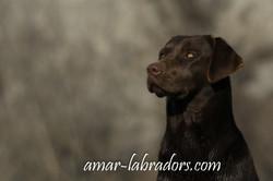 Amar Labradors